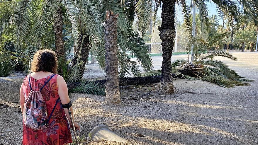 Elche apuesta por reforestar los huertos que pierden palmeras con ejemplares trasplantados de la calle