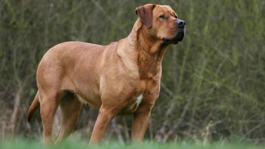 Un pitbull ataca a una mujer en Castelló: Lista de las 16 razas de perros considerados peligrosos