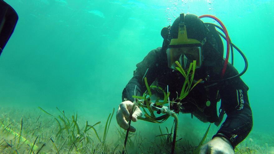 La posidonia plantada en la Bahía de Pollença sobrevive en un 90%