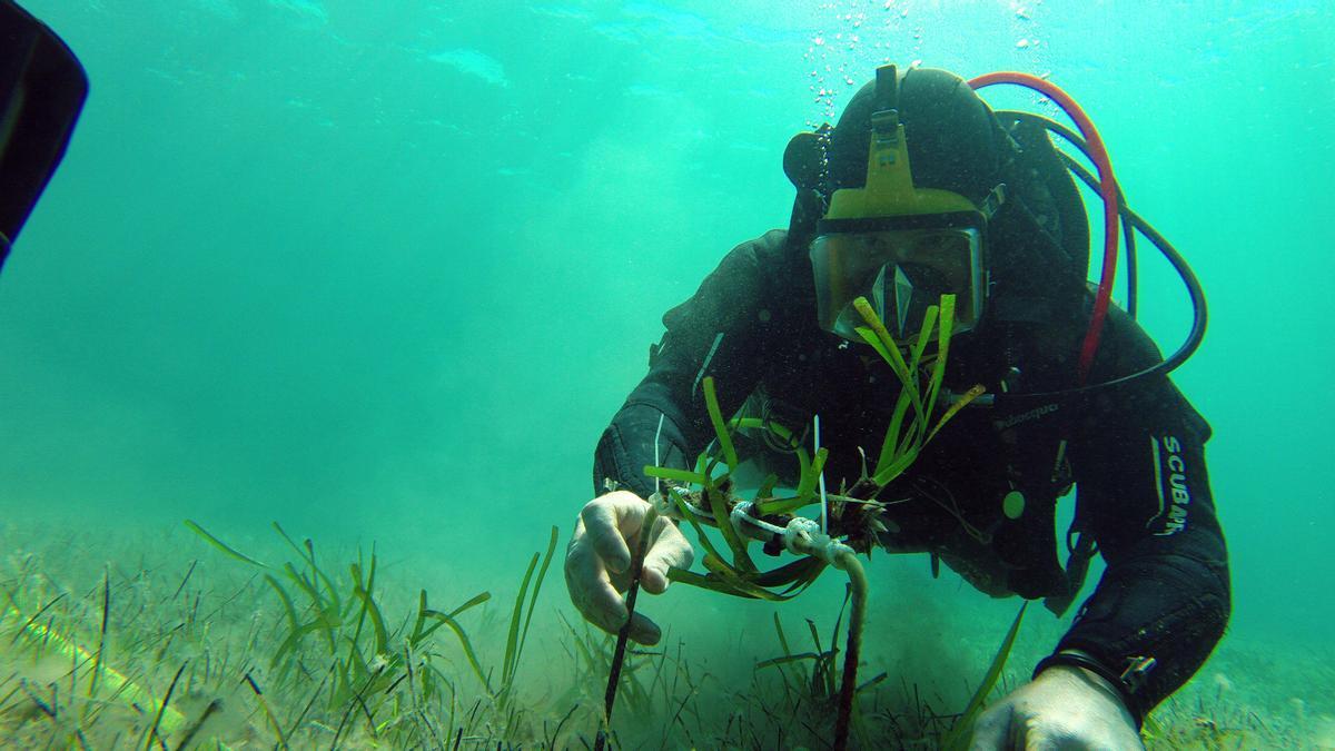 El proyecto Bosc Marí ha recuperado el 90% de la posidonia.