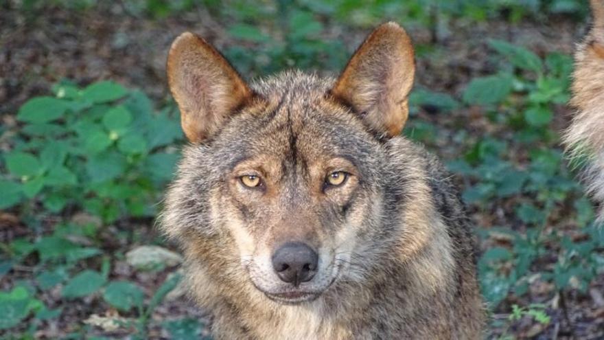 La Guardia Civil investiga en Vegadeo un fraude en las ayudas por daños del lobo