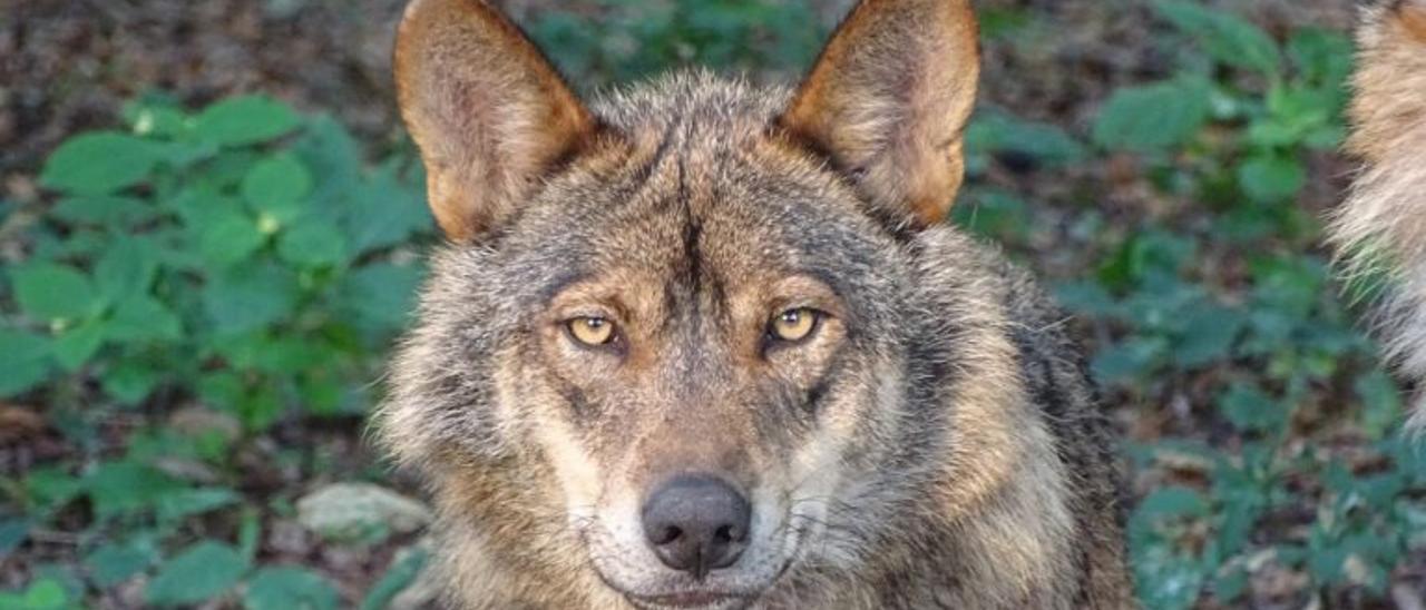 Cara a cara: ¿Qué argumentan partidarios y detractores del lobo?