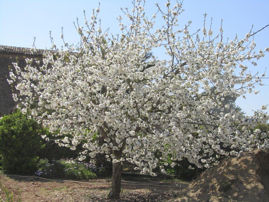 Cirerer. Aquests dies veiem molts cirerers florits, cadascun més preciós i exuberant. Quan estigui ple de cireres serà una explosió de colors. El seu nom científic és Prunus avium i pertany a la família de les rosàcies.