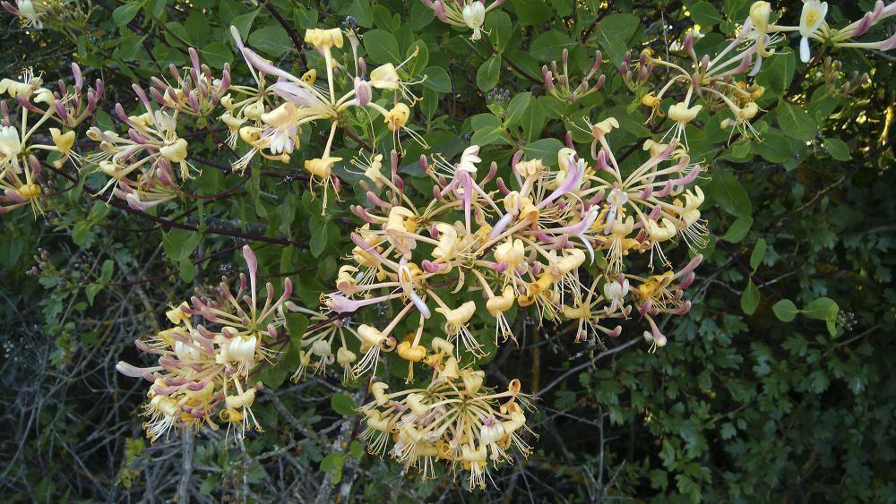 Xuclamel comú. La floració té lloc entre els mesos de juliol i setembre. Les flors, d'uns 4 cm, són blanques o grogoses, a vegades de color rosat també. Són molt oloroses.