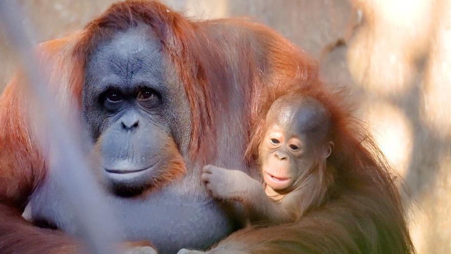 La cría de orangután de Borneo nacida en Bioparc se llamará Neo