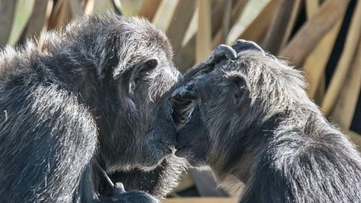 Dos primats que van ser cedits pel seu antic propietari el 2012 a la Fundació MONA.  | JOAN BRULL