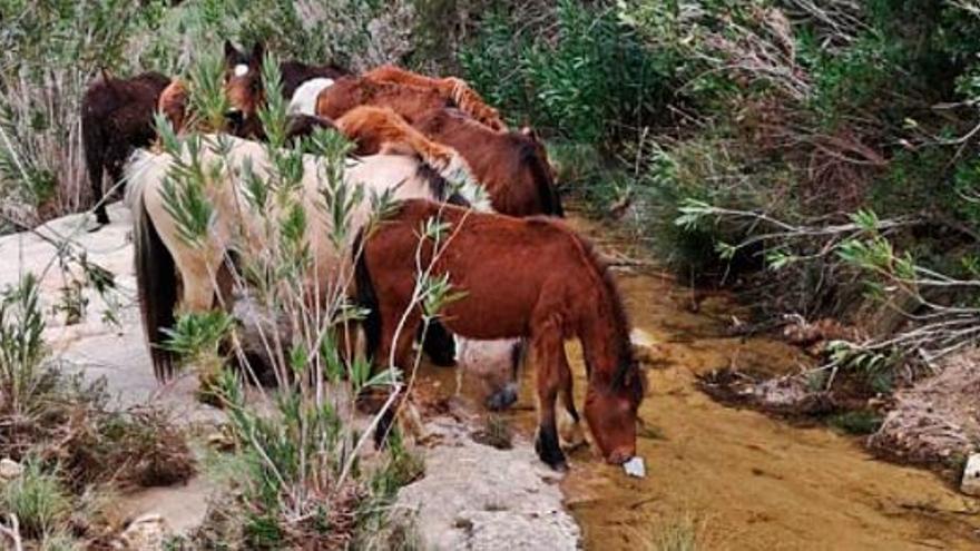 El pastor que devolvió los caballos salvajes a Tous se queda sin pastos