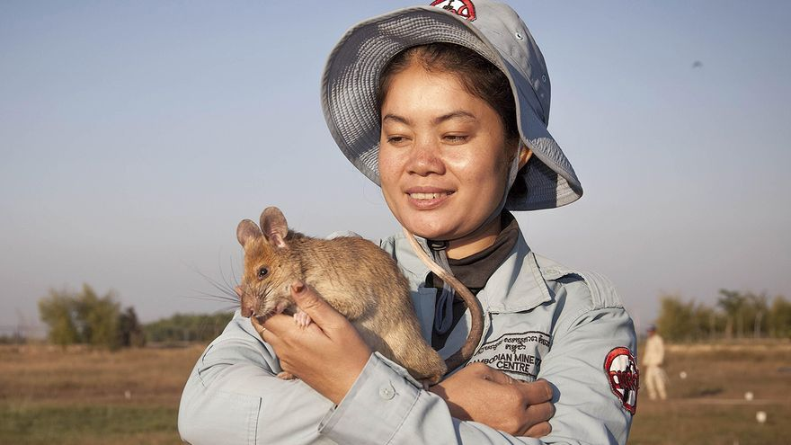 La rata buscaminas más famosa de Camboya se jubila condecorada