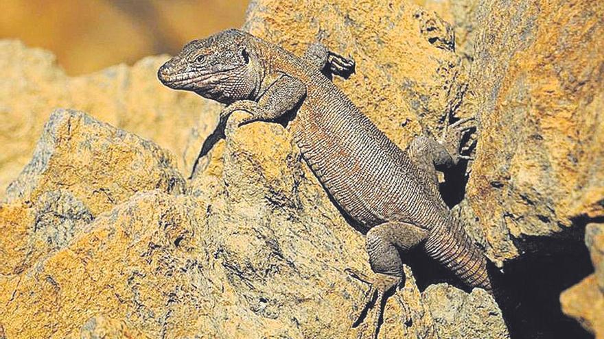 La divulgación del lagarto gigante llega a los centros educativos