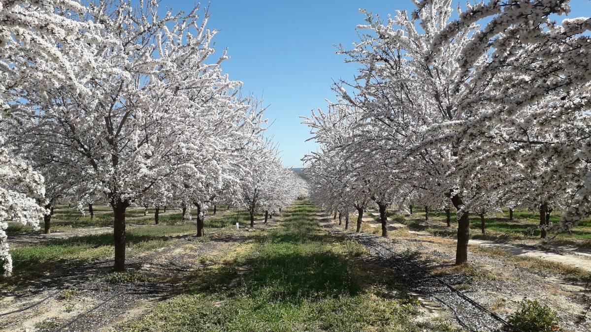 Almendros en flor durante la primavera.