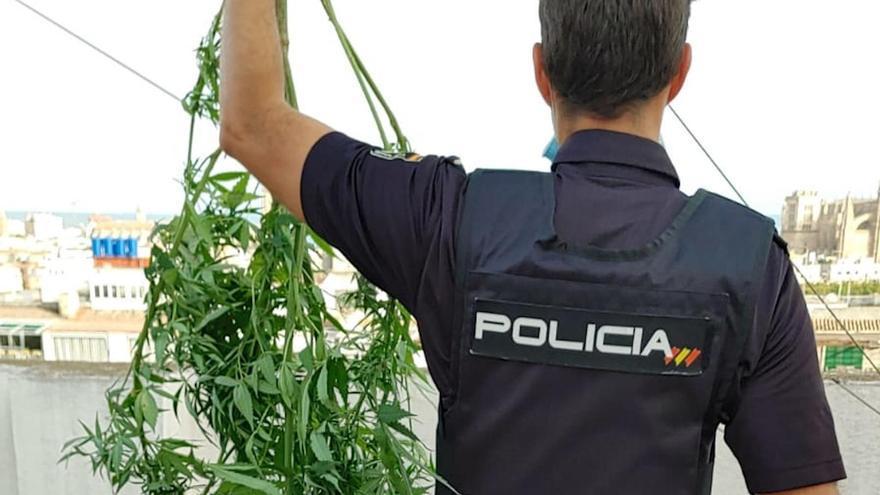 Desmantelan una plantación de marihuana en una azotea de Palma