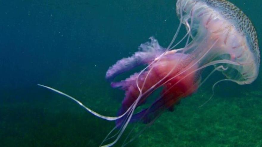Ojo con las medusas clavel