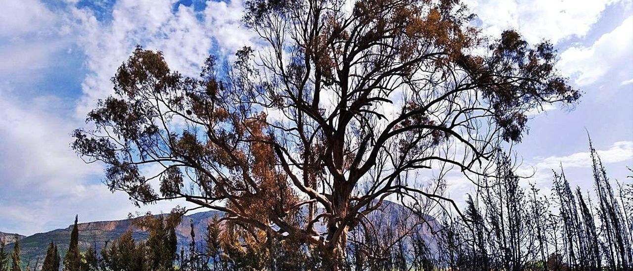 El eucalipto, que tiene 105 años, quedó muy dañado por el fuego.