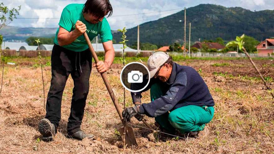 Tomiño y O Rosal se lanzan a la producción de la fruta más deseada