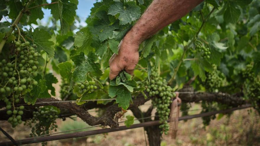 Canarias realiza un diagnóstico para mejorar la rentabilidad del sector vitivinícola