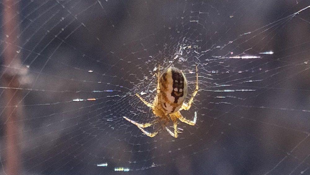 L'aranya. L'aranya sempre em fa recordar el museu de microminiatures de Besalú. Com pot ser que una cosa tan petita pugui tenir aquesta perfecció de dibuixus i colors a l'esquena per fer fugir l'enemic?