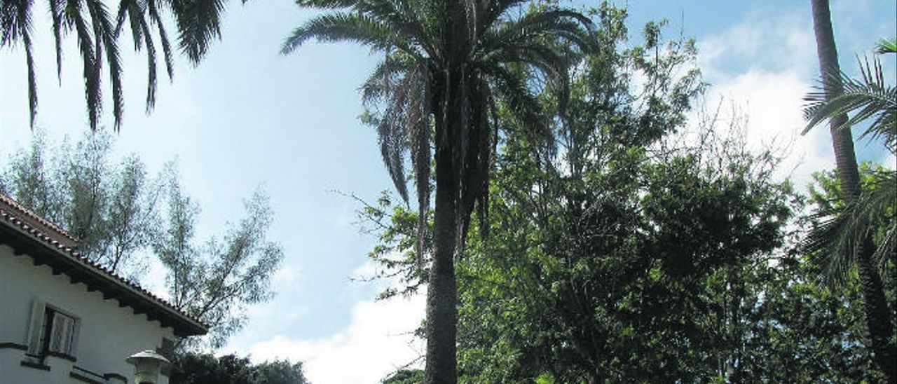 Palmera canaria que se erguía en la calzada de la calle Francisco González Díaz de Las Palmas.