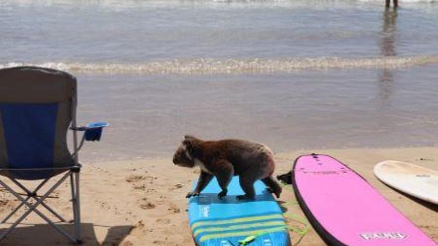 Un coala es passeja entre planxes de surf i banyistes en una platja australiana