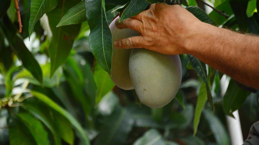 TROPS, el mango y aguacate de Málaga que triunfa en toda España