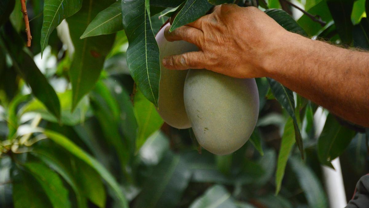 Trops es la empresa líder en cultivos de aguacate y mango