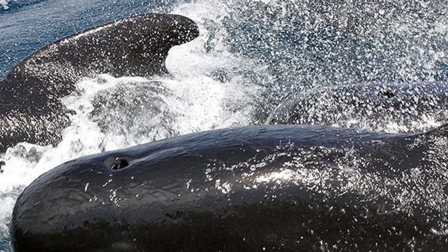Mehr Wale und Delfine vor Mallorca als gedacht
