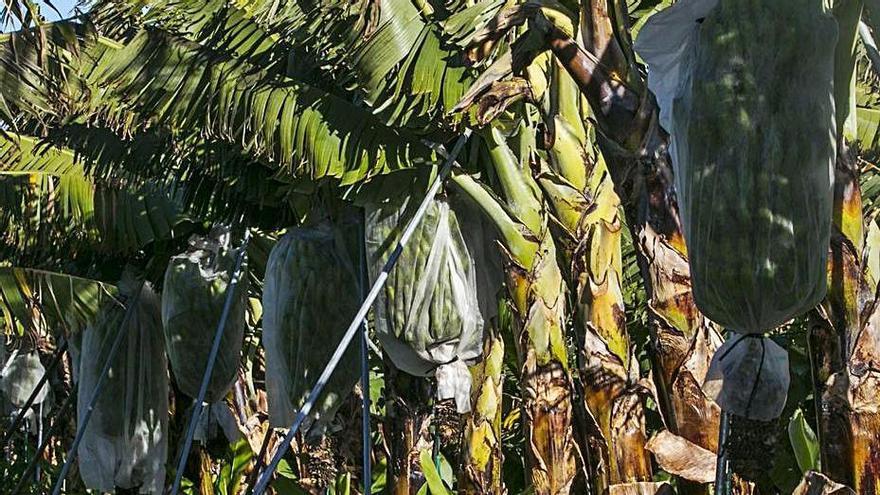 El Cabildo de Tenerife rescata la finca en la que impulsa la maduración del plátano