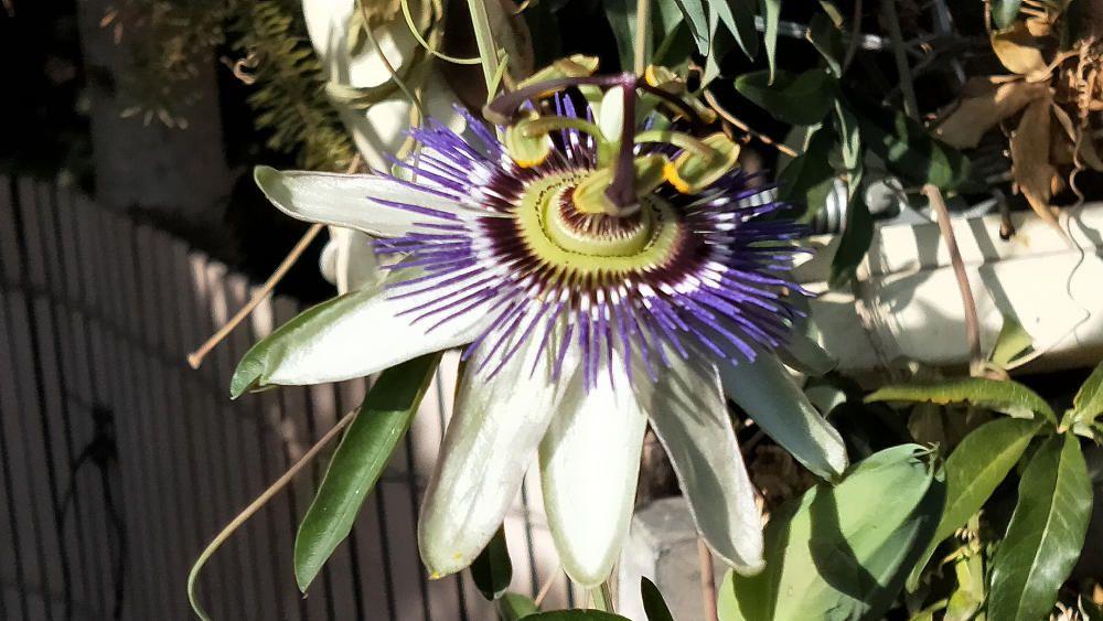 El nom de passiflora ve del llatí flos passionis, és a dir, flor de la passió.