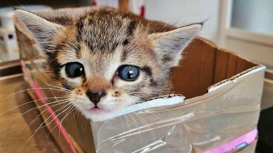 """El abandono de Tufi, una gata con una raja abdominal: """"Si no la cogéis, la dejo tirada"""""""