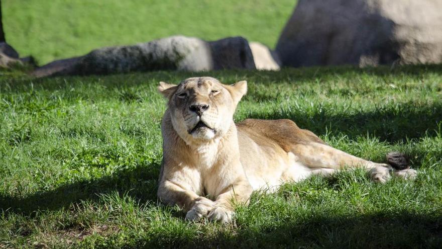Muere Fa, la leona más longeva de España
