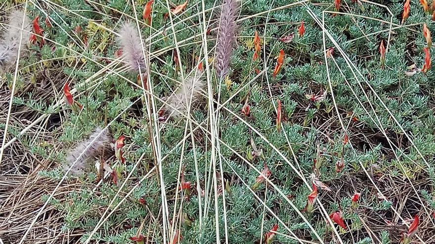 Esparcen semillas de rabo de gato en una parcela con flora en peligro de extinción