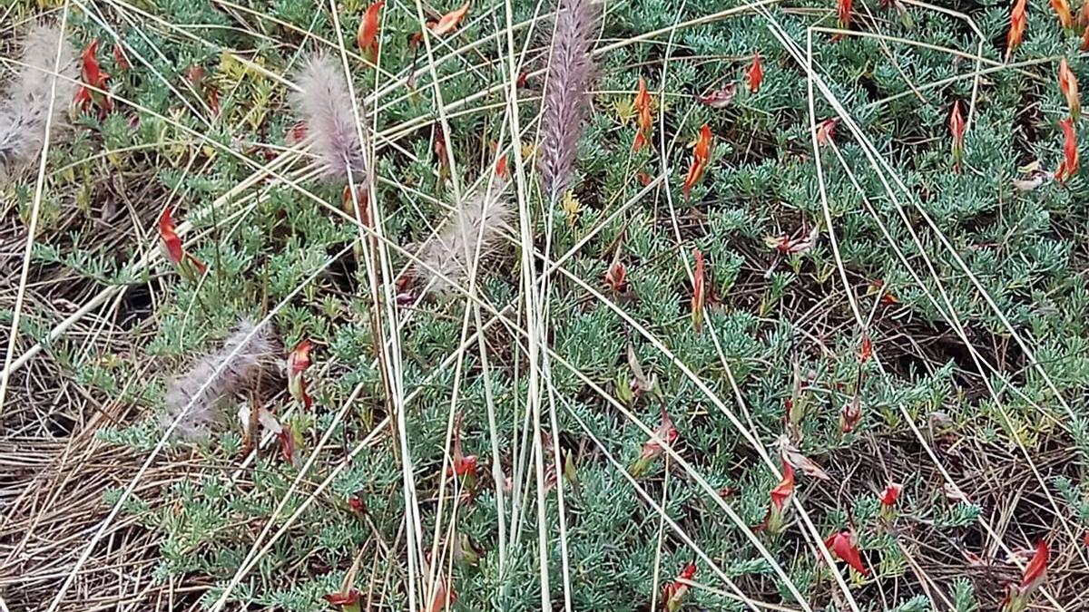 Parcela que protegía flora en peligro de extinción, afectada por el rabo de gato en La Palma. | | E.D.