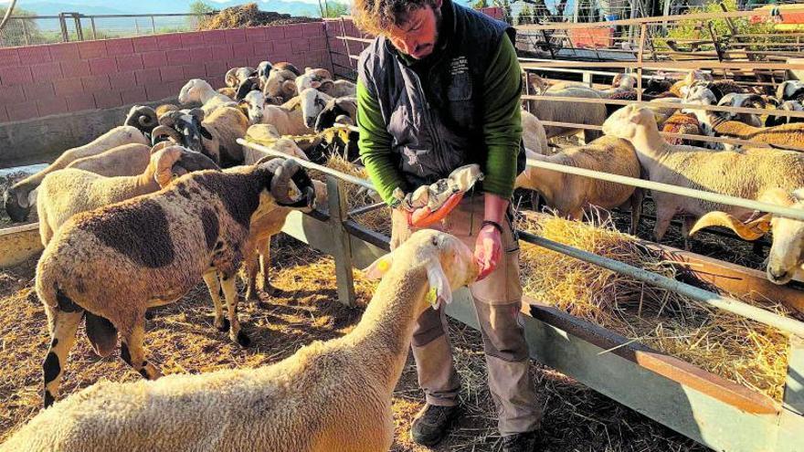 Las vacas y las cabras  ya comen naranjas