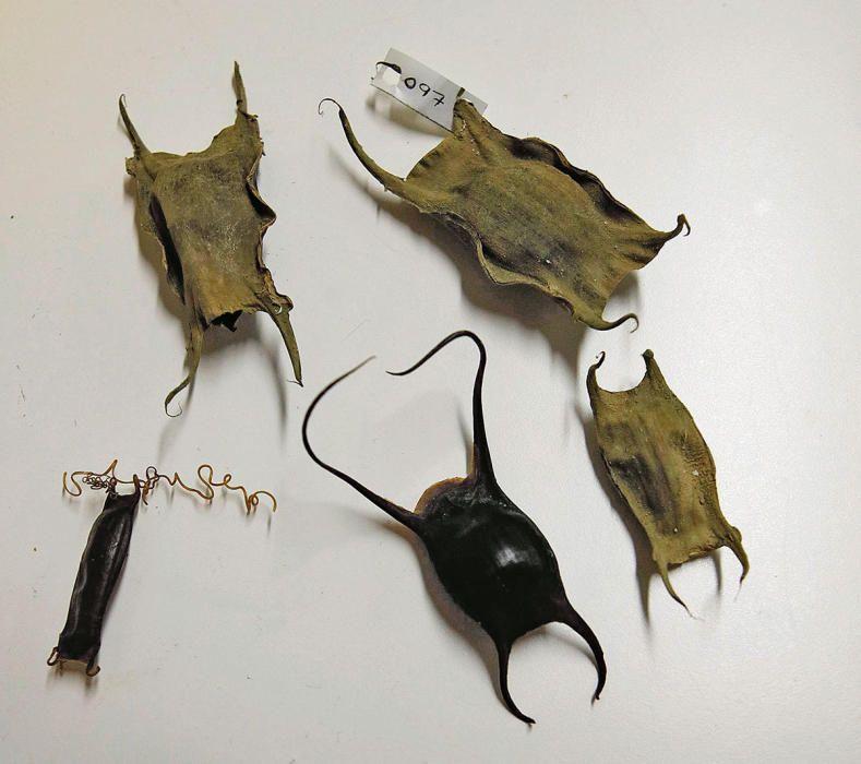 Trockene Eikapseln der Rochen aus dem Forschungslabor LIMIA. Die Tiere schlüpfen, wenn es so weit ist, aus den hauchdünnen Öffnungen.