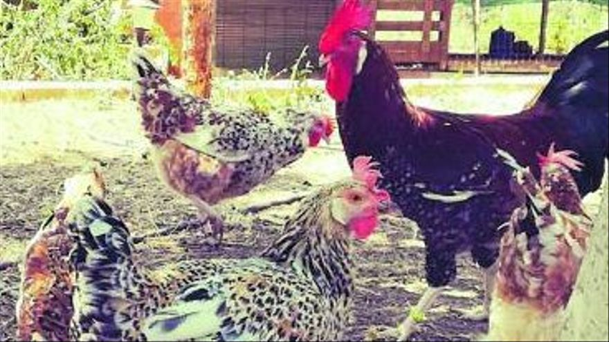 Recuperar la gallina alicantina desde Picassent