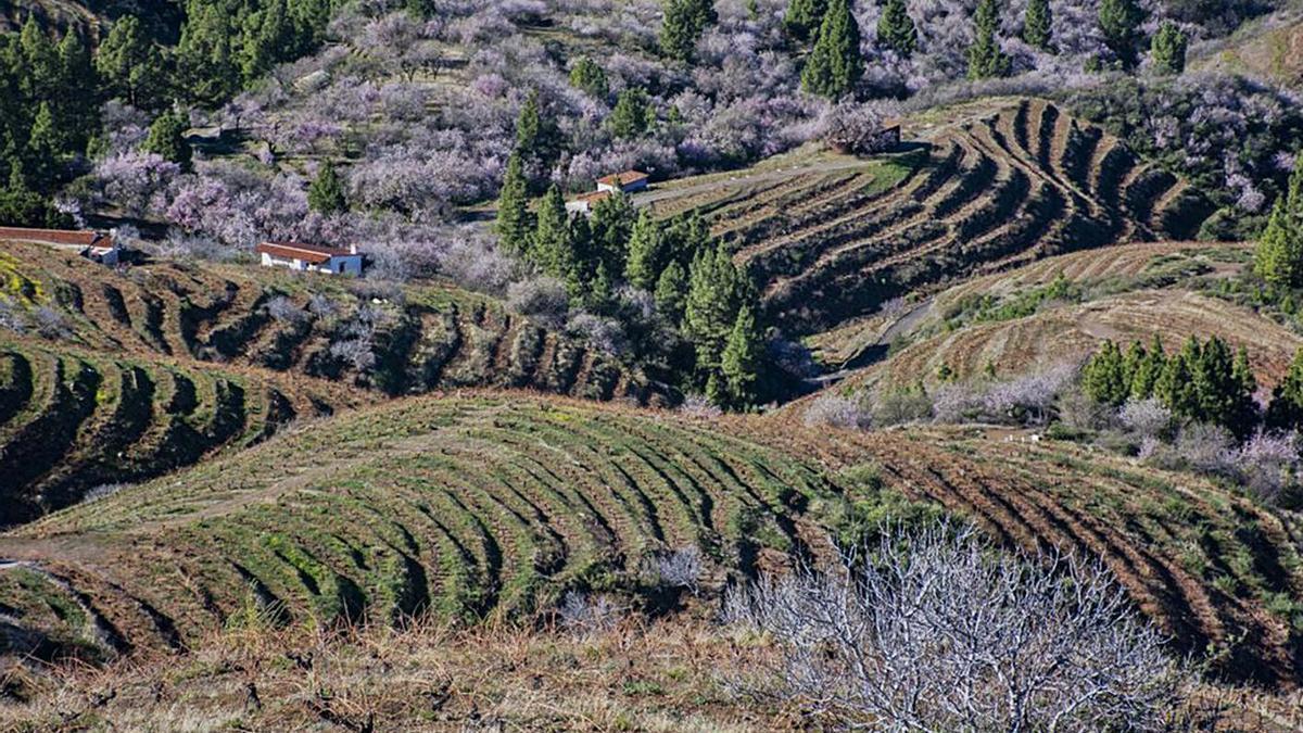 Medianías del Noroeste de La Palma con viñas.