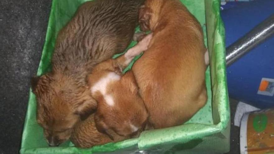 Encuentran seis cachorros abandonados en un contenedor