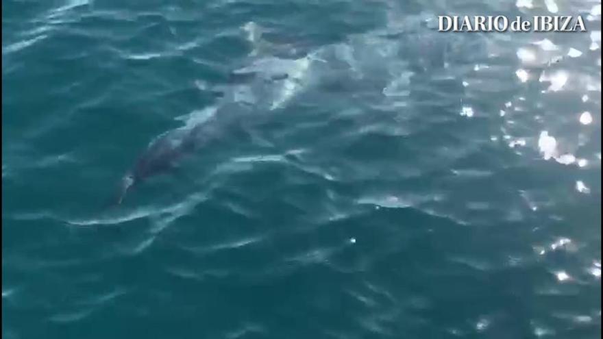 La temporada en Ibiza no ha acabado para los delfines
