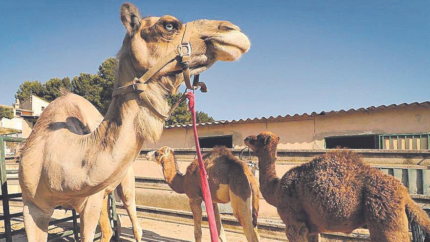 Las cuadras de la provincia de Alicante peligran si no hay fiestas