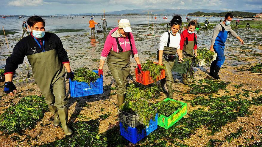 Las mariscadoras de Carril vuelven a faenar después de un año sin actividad