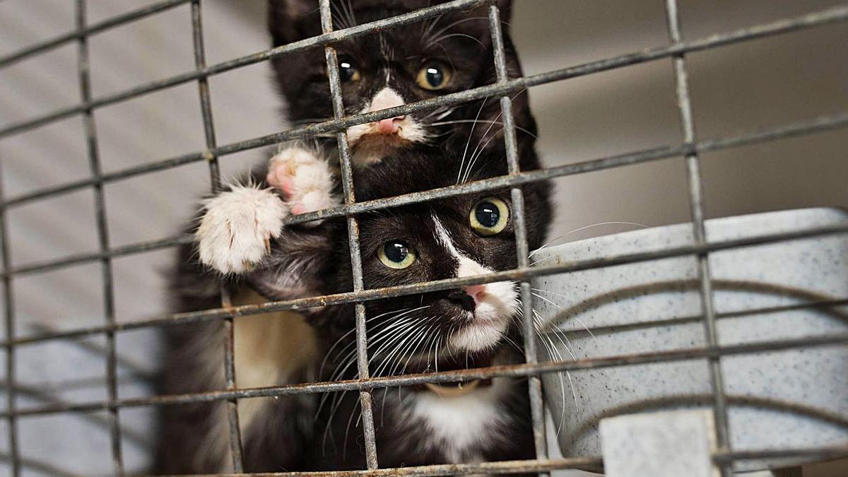 Gatos en una jaula en un refugio en el Norte de Tenerife. | | CARSTEN W. LAURITSEN