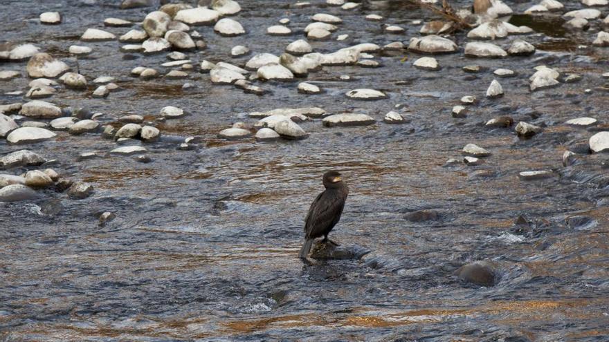 """Los ecologistas critican al Principado por la """"matanza"""" de 240 cormoranes en la región"""