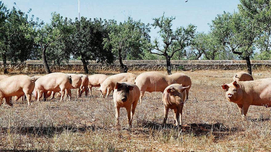 Im Schweinsgalopp über die Felder von Mallorca