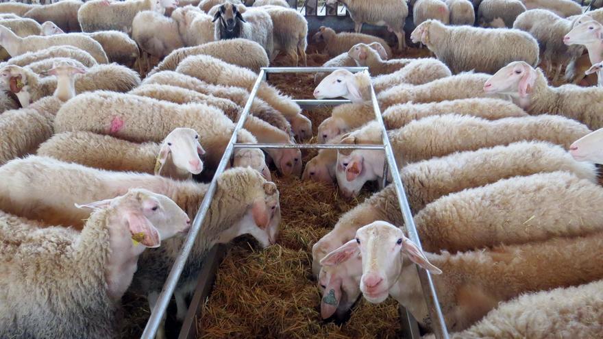 La Diputación mantendrá la subvención a la asociación de ovino Assaf
