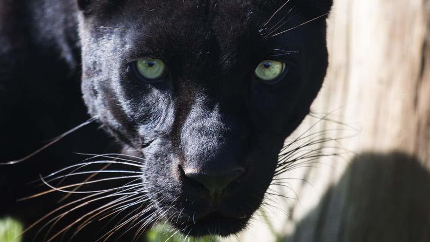 Alertan de la presencia de una pantera negra en Granada