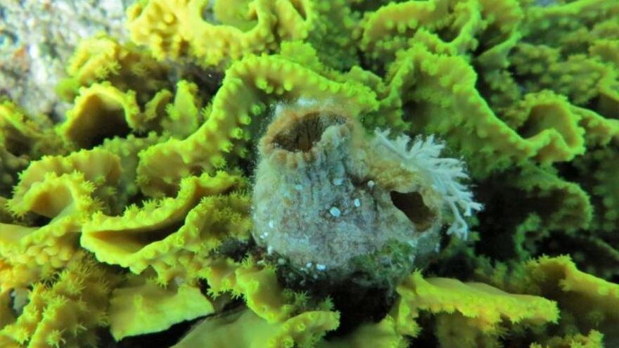 Un animal marino regenera todos sus órganos, se divide y se multiplica en tres