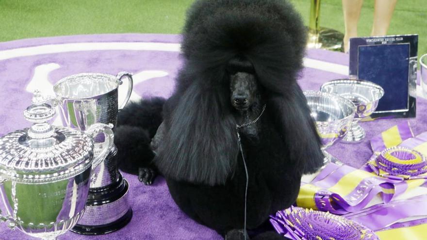 Les millors fotos del concurs de gossos Westminster Kennel Club Dog Show 2020