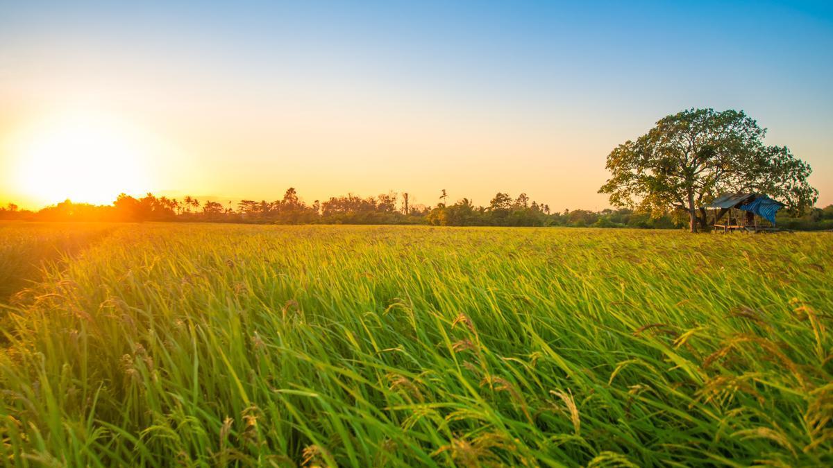 El nuevo herbicida Loyant® actúa contra las malas hierbas en los cultivos de arroz.