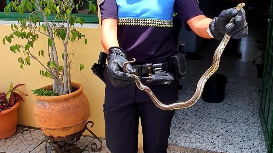 Agentes de la Policía Local capturan una culebra de California en El Gamonal