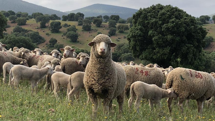 3.000 granjas producen la carne 'gourmet' extremeña