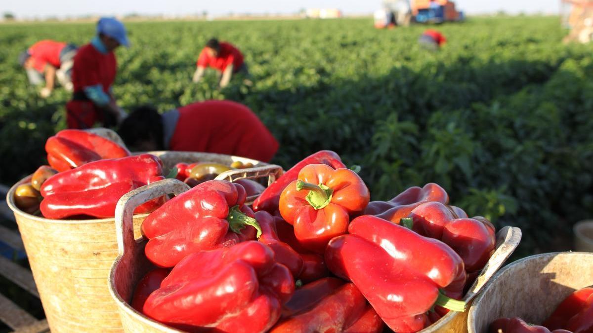 Mercadona prevé comprar 18.200 toneladas de pimiento rojo de origen nacional